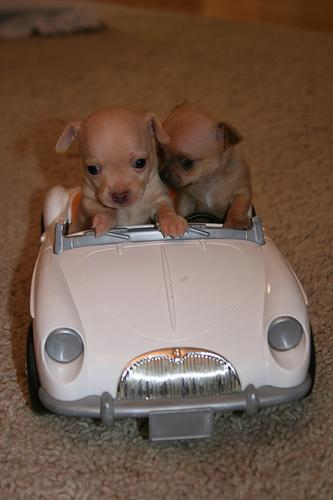 puppies drive car